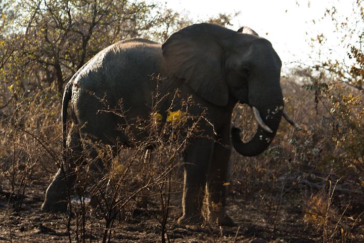 Elefante jovem macho