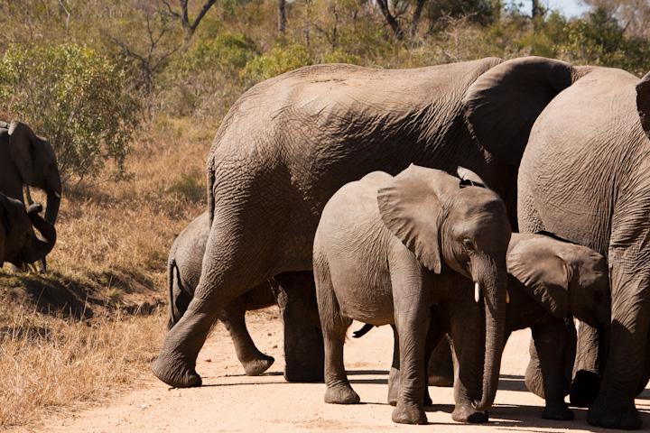 Manada de elefantes a atravessar a estrada