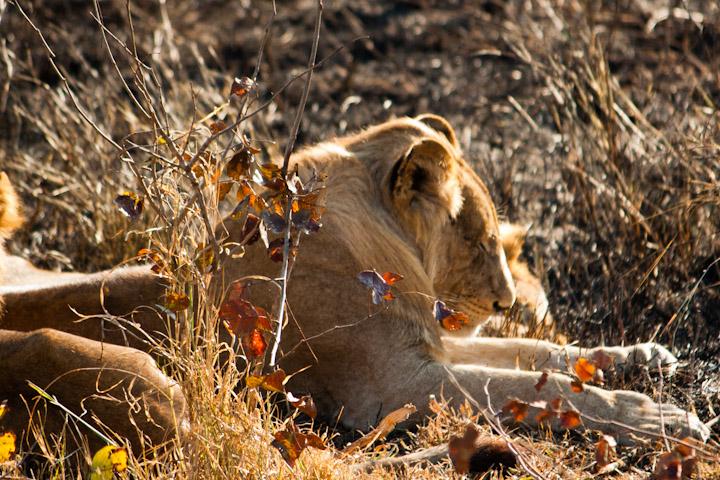 Leão a descansar ao sol da manhã