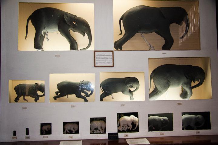 A mais completa colecção de fetos de elefante