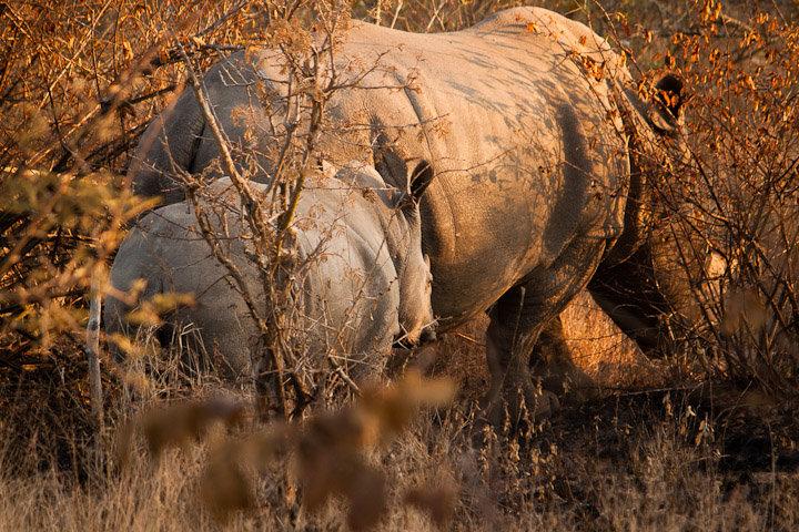 Rinoceronte fêmea e a sua cria
